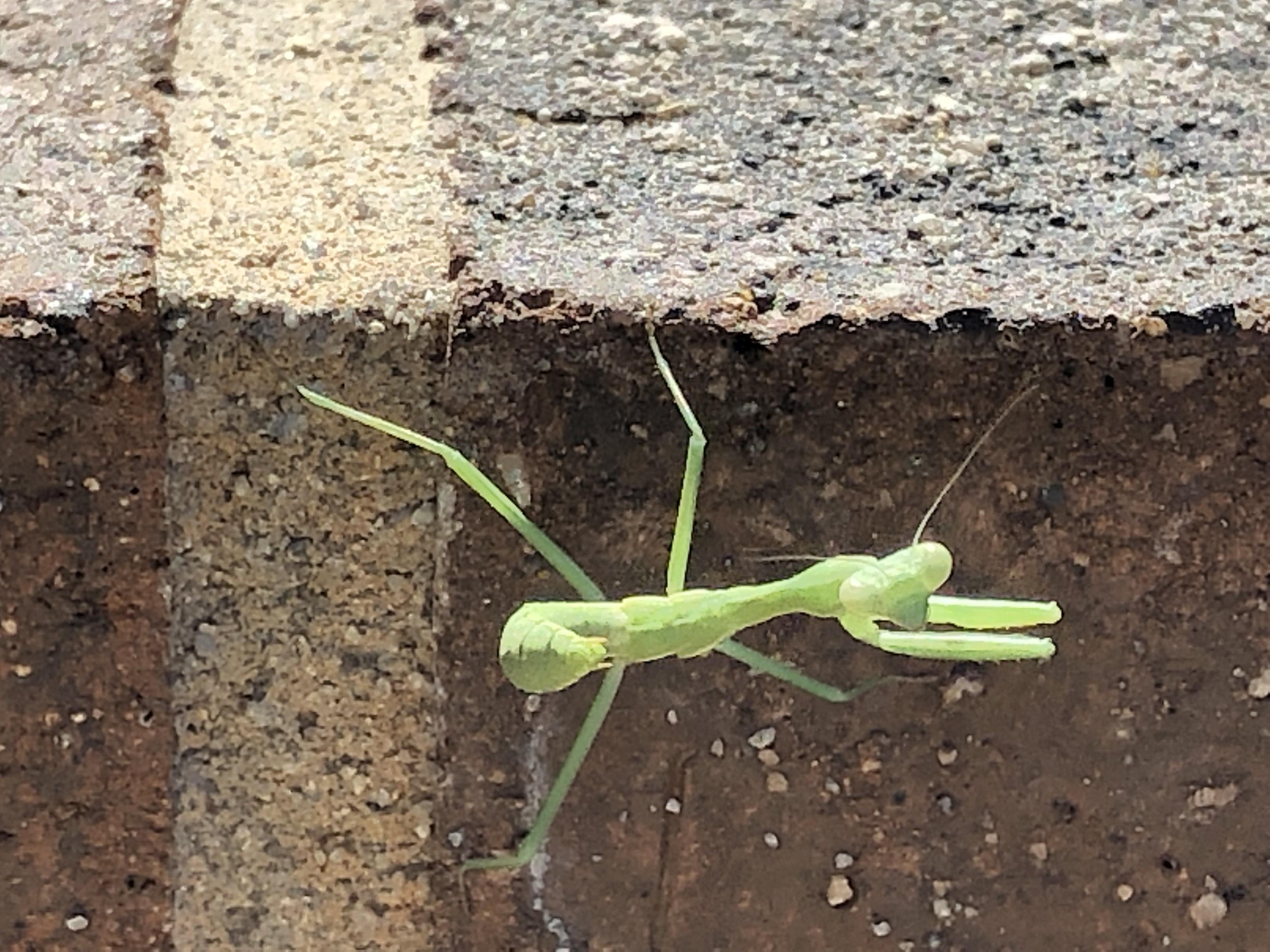 close-up of praying mantis looking directly at camera