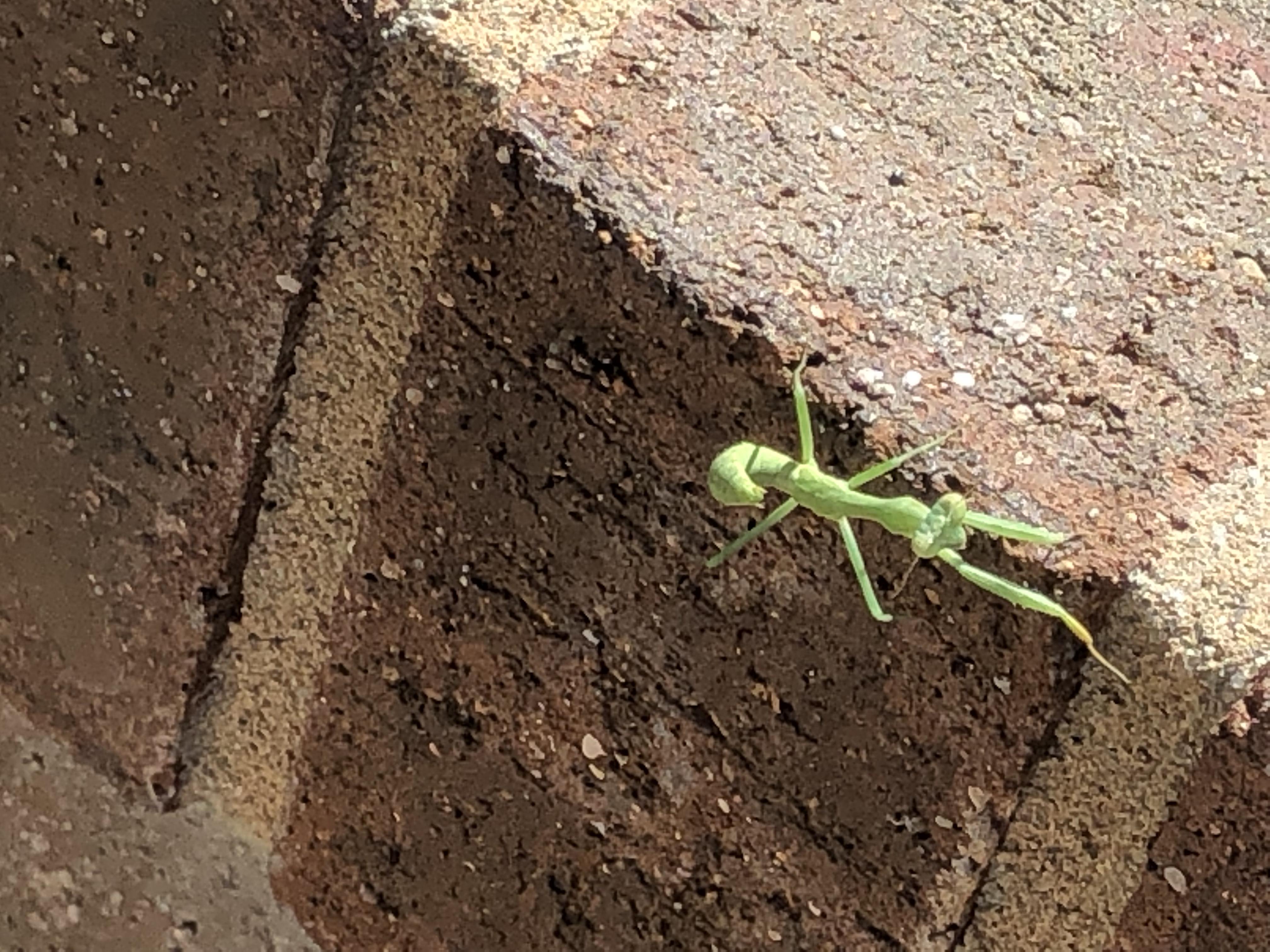 praying mantis looking at the camera